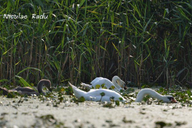 Birdwatching Delta Dunarii Lebede