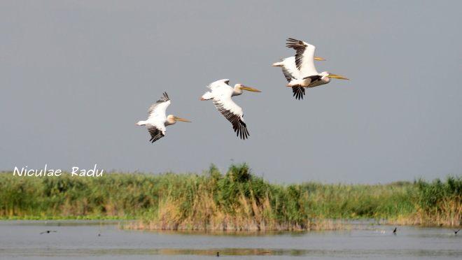 Delta Dunarii Pelicani Gabriela Simion
