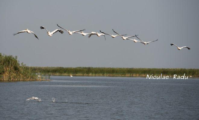 Delta Dunarii Pelicani in Zbor