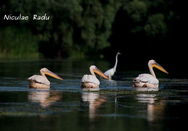 Delta Dunarii Poze cu Pelicani