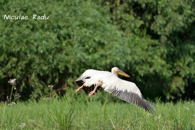 Birdwatching Delta Dunarii Pelicani