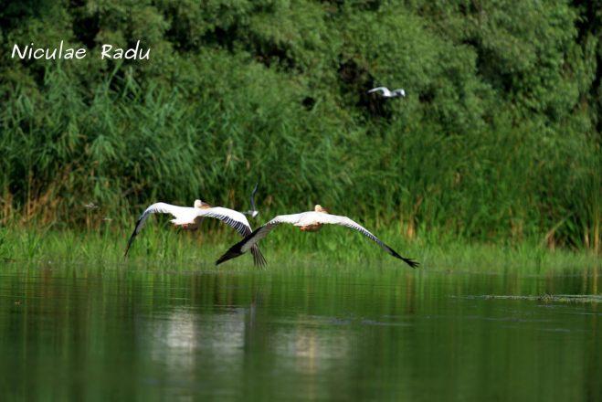 Birdwatching Delta Dunarii Pelicani in Zbor