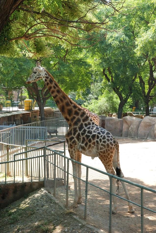 Girafa Vacanta in Barcelona, Gradina Zoologica, Gabriela Simion